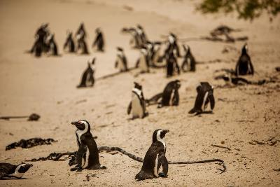 Cape African Penguins, Boulders Beach, Cape Town, South Africa, Africa-Laura Grier-Photographic Print