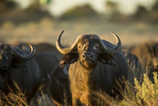 Cape Buffalo, Moremi Game Reserve, Botswana-Paul Souders-Photographic Print