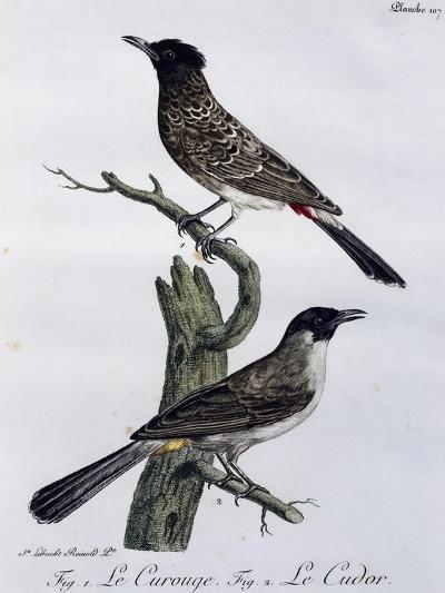 Cape Bulbul (Pycnonotus Capensis) And--Giclee Print