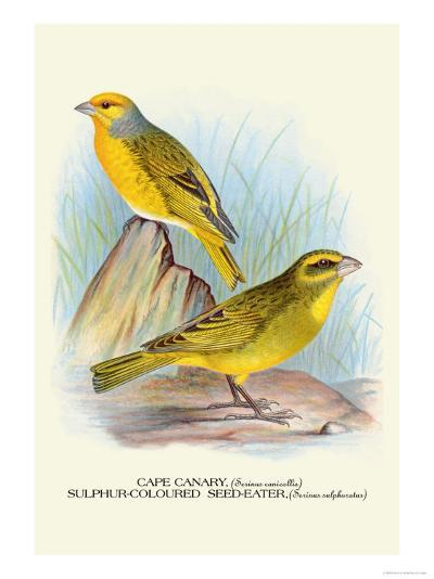 Cape Canary, Sulphur-Coloured Seed-Eater-Arthur G^ Butler-Art Print