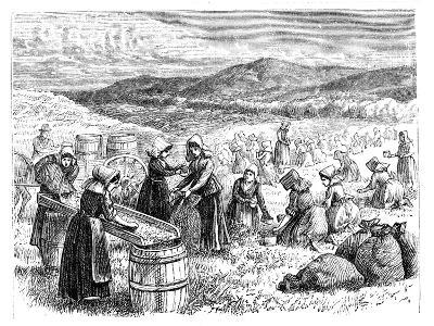 Cape Cod Women Picking and Sorting Cranberries, 1875--Giclee Print