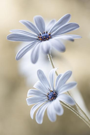 Cape Daisies-Mandy Disher-Photographic Print