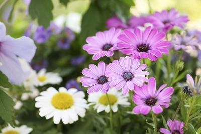 Cape Daisy, Margerite, Osteospermum, Leucanthemum-Sweet Ink-Photographic Print