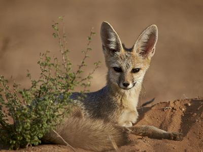Cape Fox (Cama Fox) (Silver-Backed Fox) (Vulpes Chama)-James Hager-Photographic Print