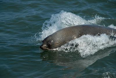 Cape Fur Seal in the Sea, Swakopmund Town, Namibia-Anne Keiser-Photographic Print