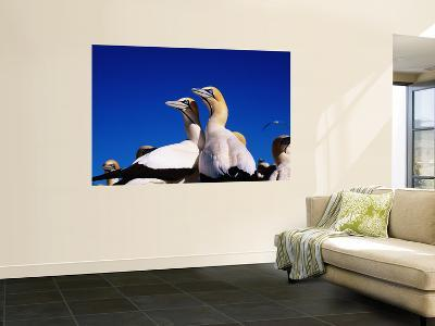 Cape Gannets at Colony-Frans Lemmens-Wall Mural