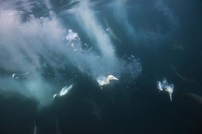 Cape Gannets (Morus Capensis) Diving for Fish-Reinhard Dirscherl-Photographic Print
