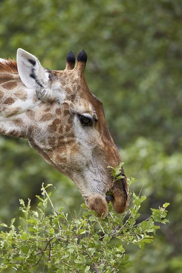 Cape Giraffe (Giraffa Camelopardalis Giraffa) Feeding, Kruger National Park, South Africa, Africa-James Hager-Photographic Print