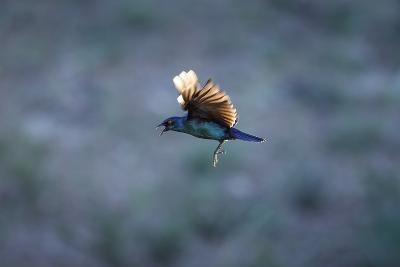 Cape Glossy Starling in Flight-Richard Du Toit-Photographic Print