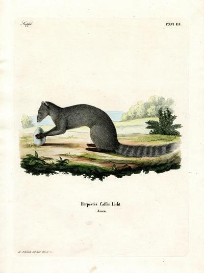 Cape Grey Mongoose--Giclee Print