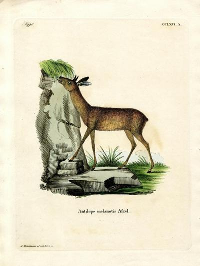 Cape Grysbok--Giclee Print
