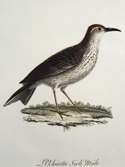 Cape Longbill Male (Certhilauda Curvirostris)--Giclee Print
