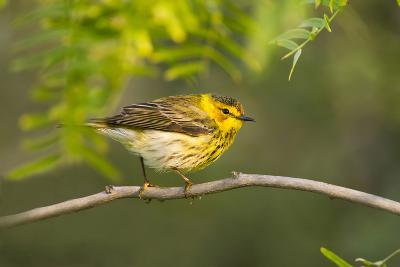 Cape May Warbler Bird, Juvenile Male Foraging During Migration-Larry Ditto-Photographic Print
