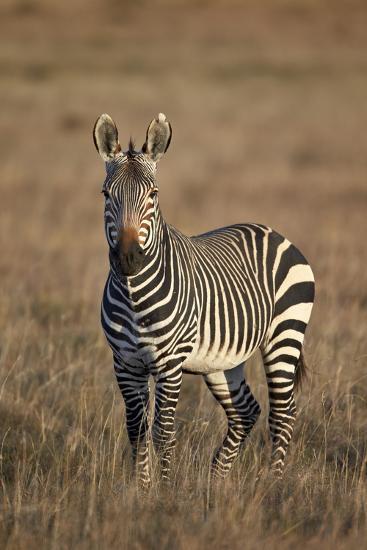 Cape Mountain Zebra (Equus Zebra Zebra) Stallion-James Hager-Photographic Print