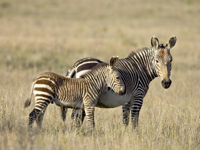 Cape Mountain Zebra Mother and Foal, Mountain Zebra National Park-James Hager-Photographic Print