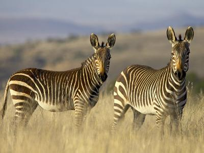 Cape Mountain Zebra, Mountain Zebra National Park, South Africa, Africa-James Hager-Photographic Print