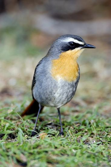 Cape Robin-chat-Peter Chadwick-Photographic Print