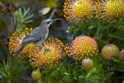 Cape Sugarbird on a Flower-Bob Gibbons-Photographic Print