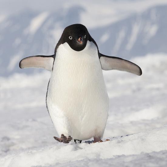 Cape Washington Antarctica Adelie Penguin Walks Forward Photographic Print Janet Muir Art Com