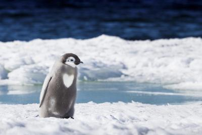 Cape Washington, Antarctica. An Emperor Penguin Chick with Heart-Janet Muir-Photographic Print