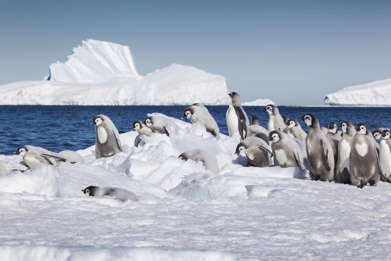 Cape Washington, Antarctica. Emperor Penguin Chicks-Janet Muir-Photographic Print