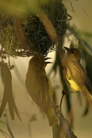 Cape Weaver Birds Building a Nest in South Africa-Keith Ladzinski-Photographic Print