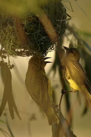 https://imgc.artprintimages.com/img/print/cape-weaver-birds-building-a-nest-in-south-africa_u-l-pu6nga0.jpg?p=0