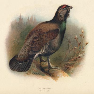 Capercaillie (Tetrao urogallus), 1900, (1900)-Charles Whymper-Giclee Print