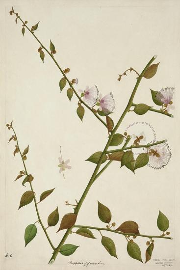 Capparis Zeylanica Linn, 1800-10--Giclee Print