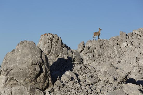 Capricorn on Rocky Ridge-Jurgen Ulmer-Photographic Print