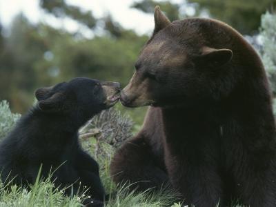 Captive American Black Bear and Cub-Norbert Rosing-Photographic Print