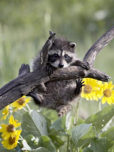 Captive Baby Raccoon, Animals of Montana, Bozeman, Montana, USA-James Hager-Photographic Print