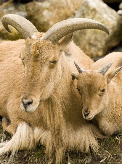 Captive Barbary Sheep, Native to North Africa-Tim Laman-Photographic Print