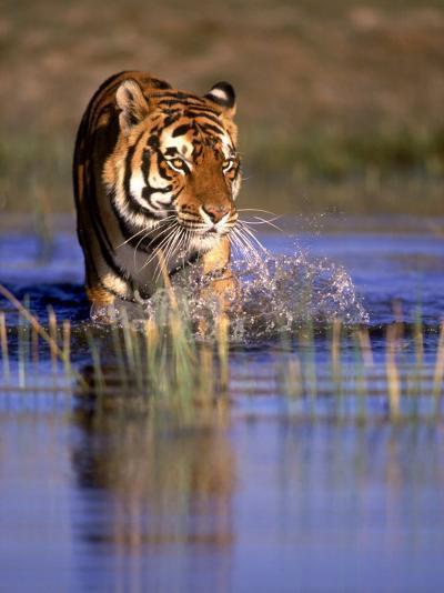 Captive Bengal Tiger, India-Stuart Westmorland-Photographic Print
