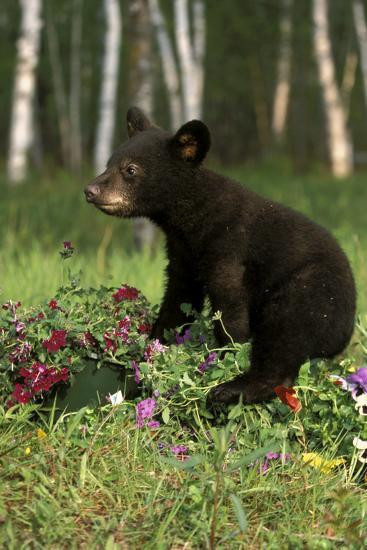 Captive Black Bear Cub Playing in Flowers Minnesota-Design Pics Inc-Photographic Print