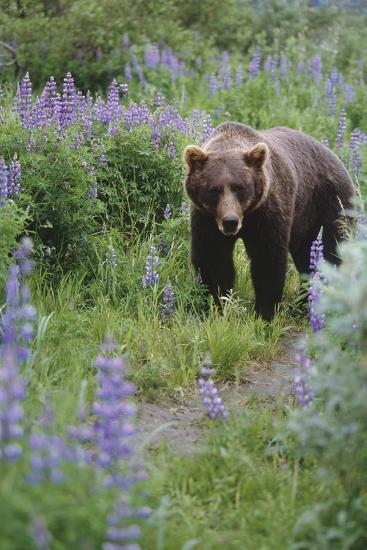 Captive: Brown Bear Walking Amongst Lupine Wildflowers at the Alaska Wildlife Conservation Center-Design Pics Inc-Photographic Print