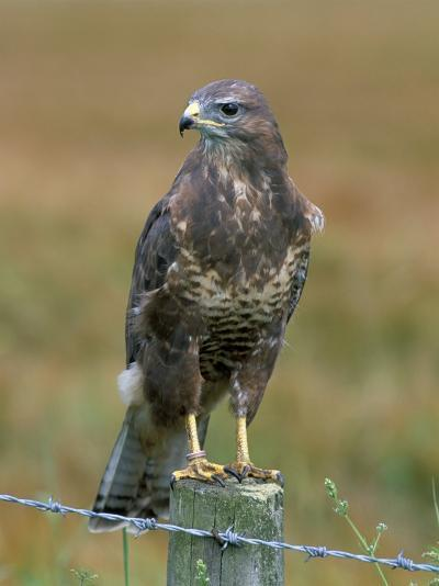 Captive Buzzard (Buteo Buteo), United Kingdom-Steve & Ann Toon-Photographic Print