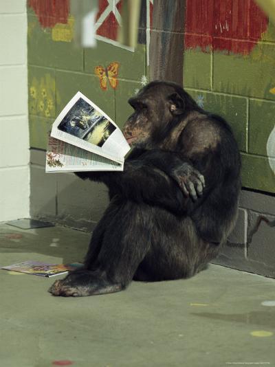 Captive Chimpanzee Looks Through a Magazine-Steve Winter-Photographic Print