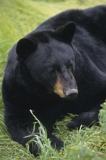 Captive: Close Up of a Black Bear Laying-Design Pics Inc-Photographic Print
