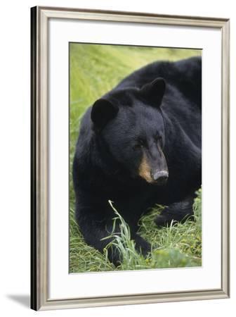 Captive: Close Up of a Black Bear Laying-Design Pics Inc-Framed Photographic Print