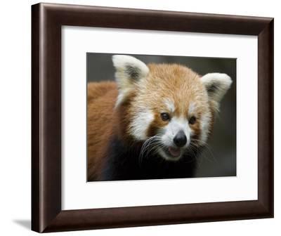 Captive Endangered Red Panda-Paul Sutherland-Framed Photographic Print