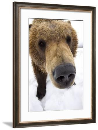 Captive Extreme Close-Up of Brown Bear at the Alaska Wildlife Conservation Center-Design Pics Inc-Framed Photographic Print