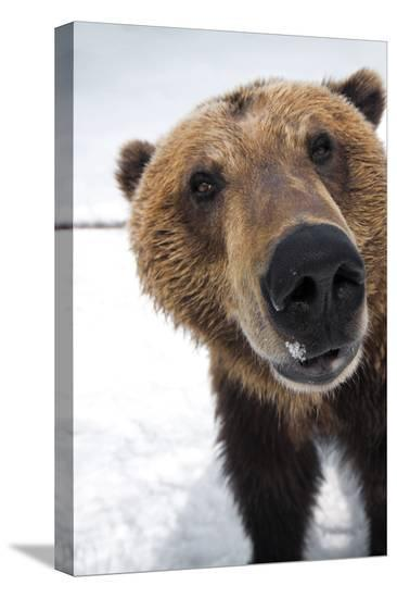 Captive Extreme Close-Up of Brown Bear at the Alaska Wildlife Conservation Center-Design Pics Inc-Stretched Canvas Print