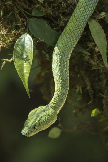 Captive Eyelash Viper, Bothriechis Schlegelii, Coastal Ecuador-Pete Oxford-Photographic Print