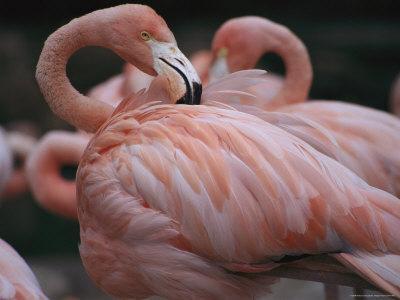 https://imgc.artprintimages.com/img/print/captive-flamingo-preens-itself_u-l-p4nb2n0.jpg?p=0