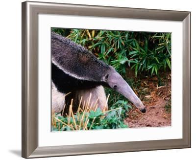 Captive Giant Anteater (Myrmecophaga Tridactyla), Brazil-Mark Newman-Framed Photographic Print