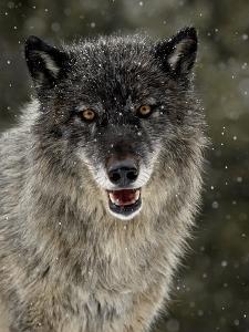 Captive Gray Wolf (Canis Lupus) in the Snow, Near Bozeman, Montana, USA
