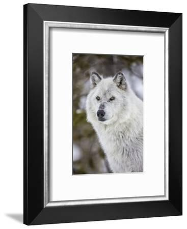 Captive gray wolf portrait at the Grizzly and Wolf Discovery Center in West Yellowstone, Montana-Chuck Haney-Framed Photographic Print