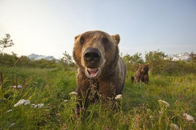 Captive Grizzlies at the Alaska Wildlife Conservation Center Near-Design Pics Inc-Photographic Print