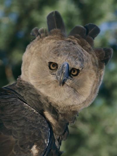 Captive Harpy Eagle-Roy Toft-Photographic Print